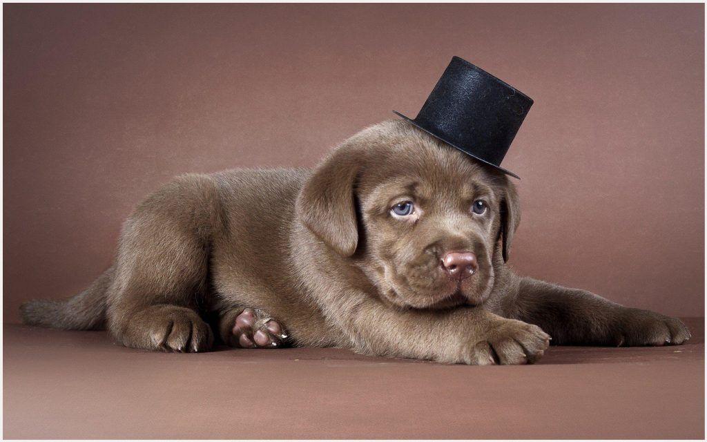 Labrador Puppy Wallpaper Chocolate Labrador Puppy Wallpaper Lab