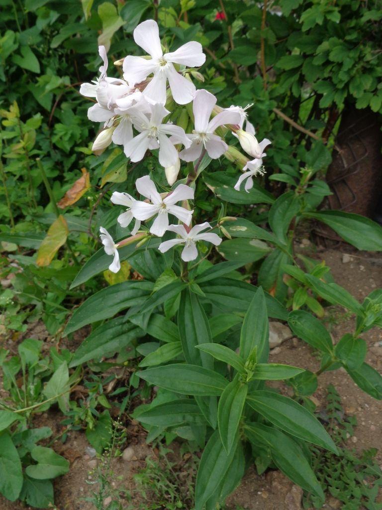Mydlnica Lekarska Plants Garden