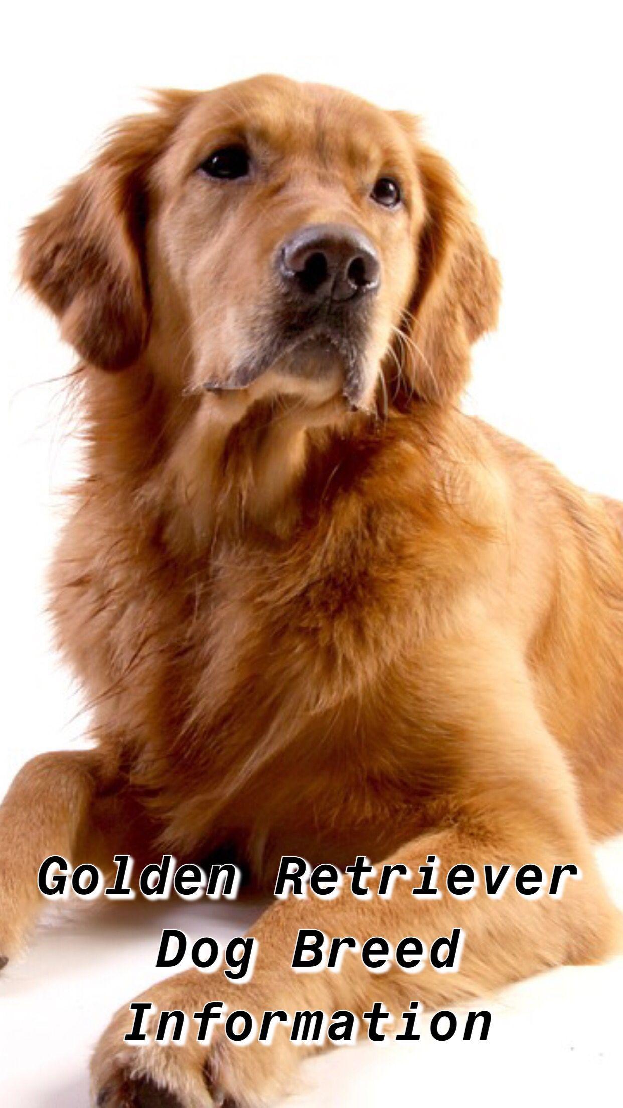 Minature Golden Retriever Golden Retriever Tips Puppy Golden