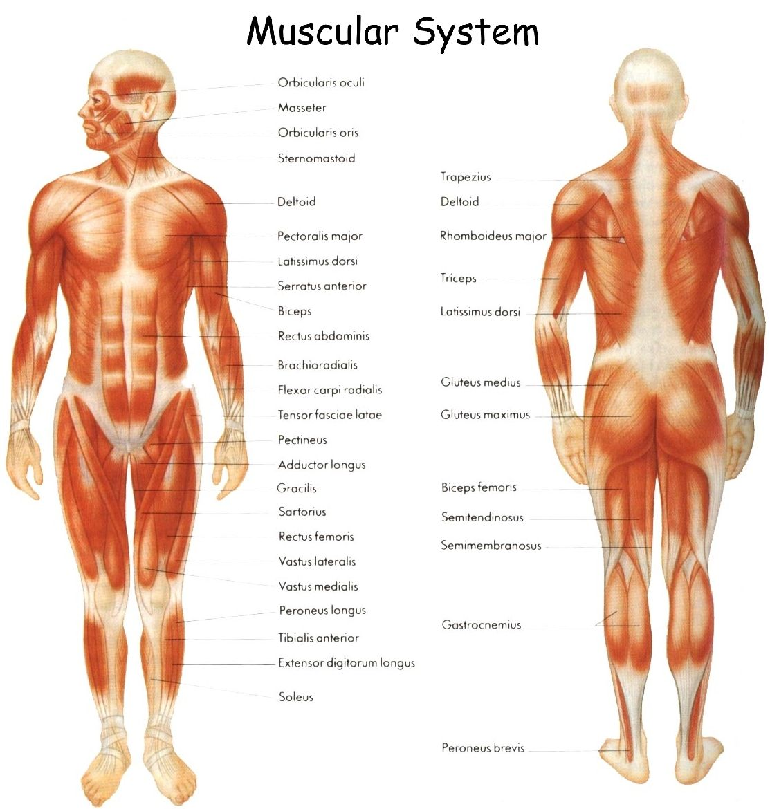 muscular system | body parts affected by autoimmune diseases, Muscles
