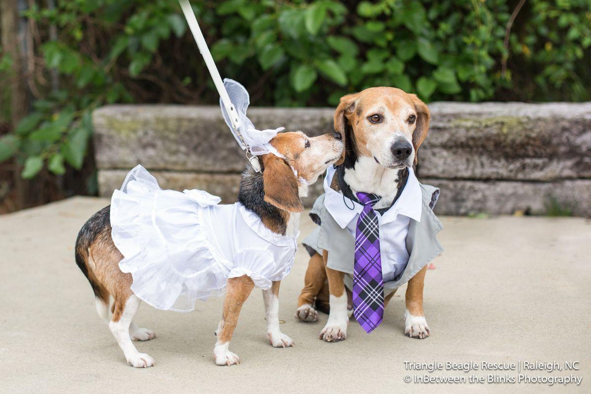 A Beagle Bucklist Wedding Dog Wedding Beagle Thanksgiving Wedding