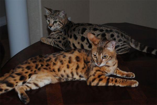 Gorgeous Savannah Cats Savannah Cat For Sale Bengal Cat F5 Savannah Cat