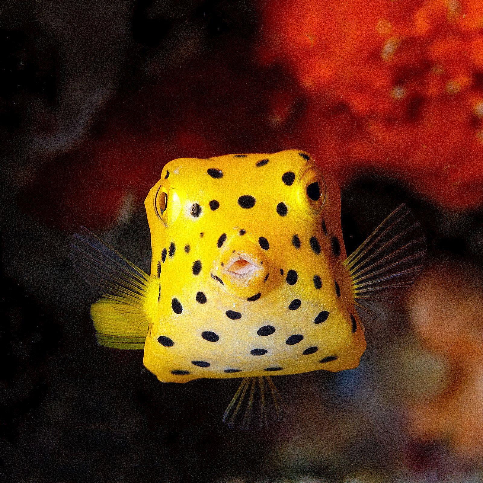Yellow Boxfish Juvenile Ostracion Cubicus Fish Pet Fish Pets
