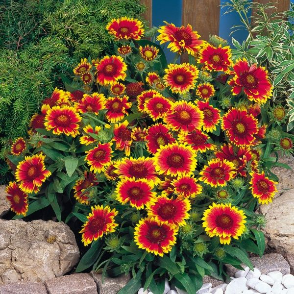 Photos of full sun perennial flower beds buy gaillardia arizona photos of full sun perennial flower beds buy gaillardia arizona sun plug plants online mightylinksfo