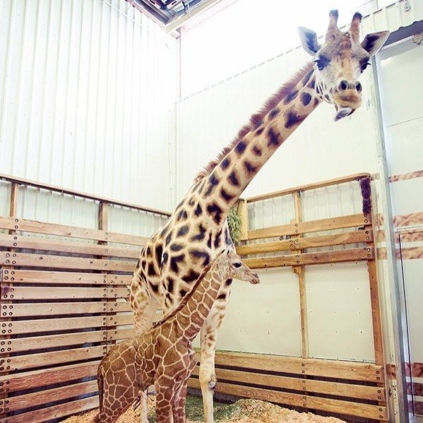 Mom And Calf Hanging Out In The Quiet Barn Zoo Keeper Katie Ahl Says Tufani Has Been Calm And Patient And Is Busy Keep Giraffe Woodland Park Zoo Baby Giraffe