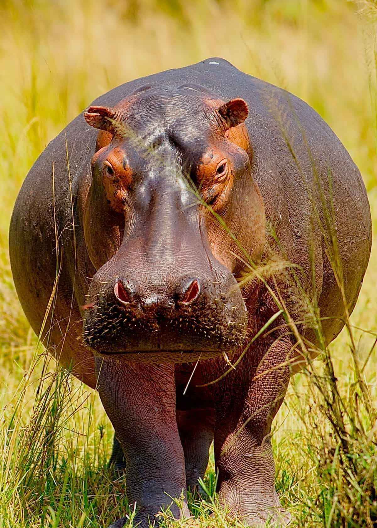 animals in 2020 Hippo facts, Dangerous animals, Africa