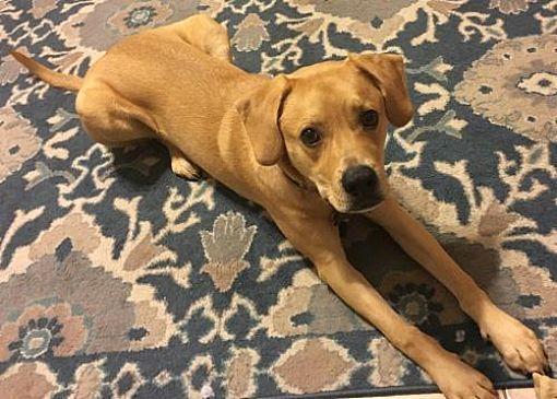 Sanford, FL Labrador Retriever. Meet Fitzy a Dog for