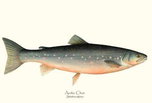 Arctic Char fish print illustration Illustration