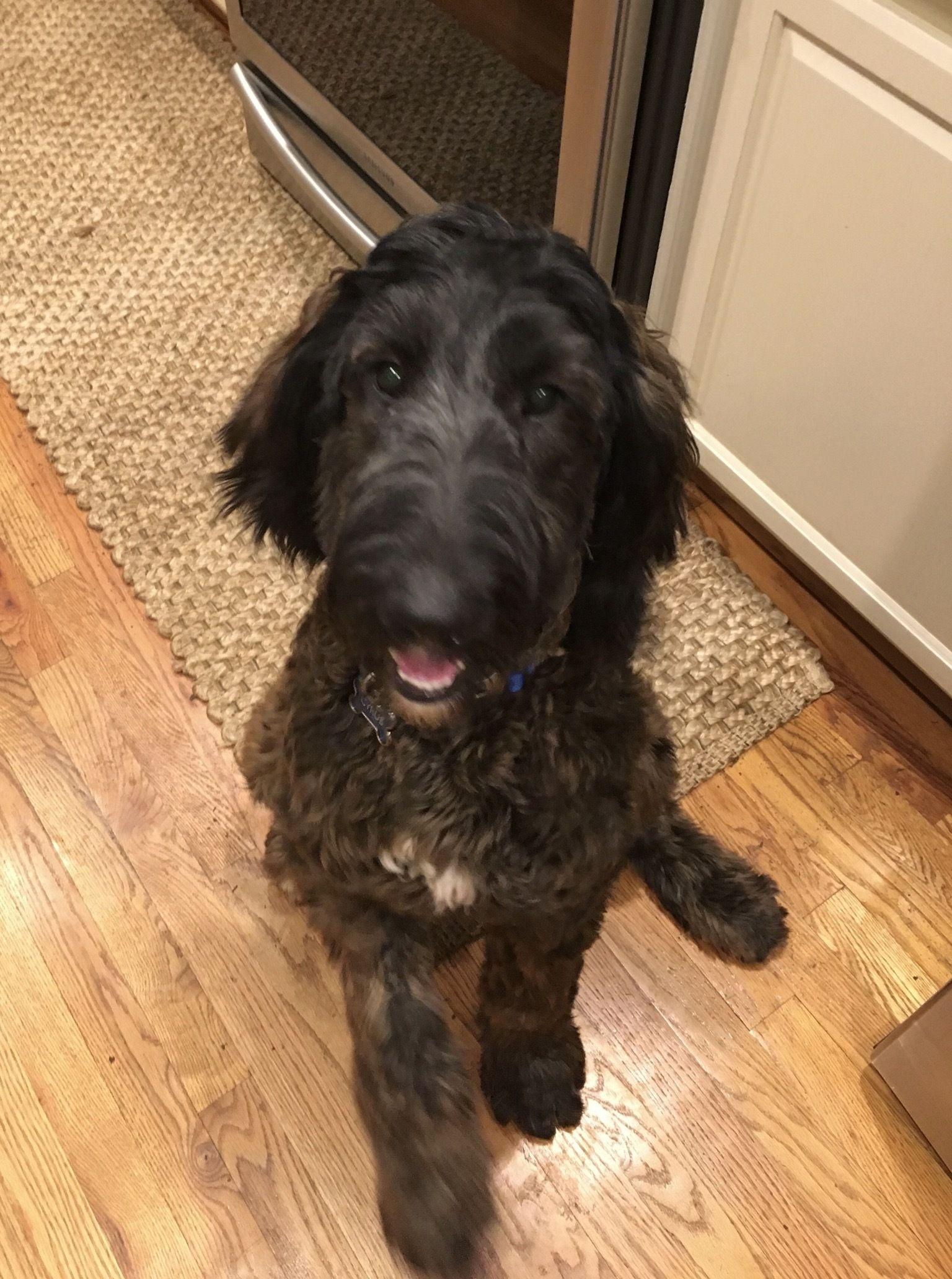 Adopt Maple Tx On Dogs Labrador Retriever Mix Poodle