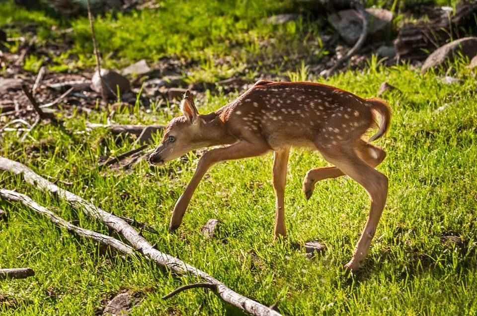 A baby white tailed deer learning how to walk.