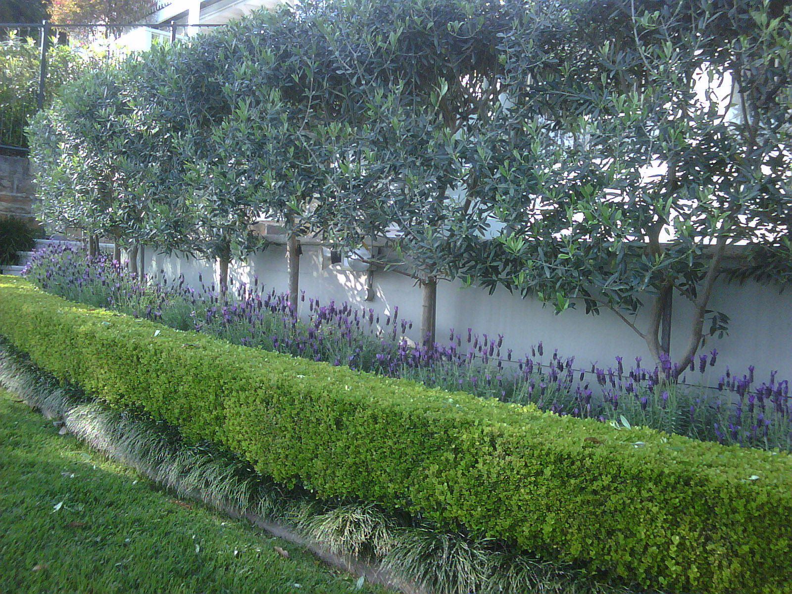 Olive trees privacy screen garden ideas pinterest for Garden design ideas for privacy