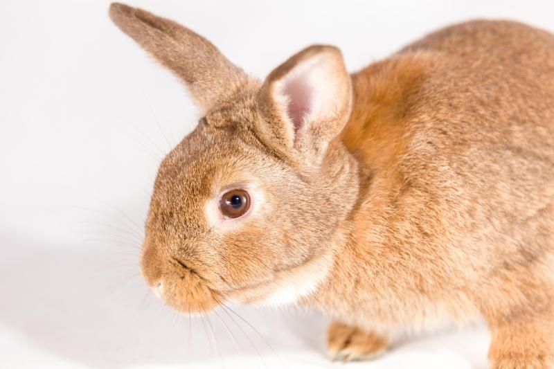 Meet Radish, an adoptable Tan Rabbit | Norwalk, CT | May we introduce you to Radish? This sweet little boy is still a baby, but already so well-behaved....