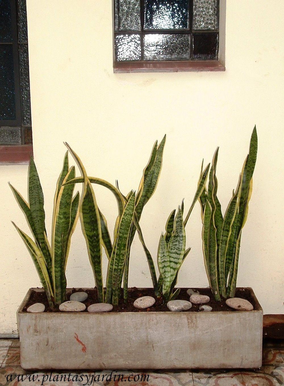 Sanseviera una planta ideal para zonas con poca luz - Plantas jardineras exterior ...
