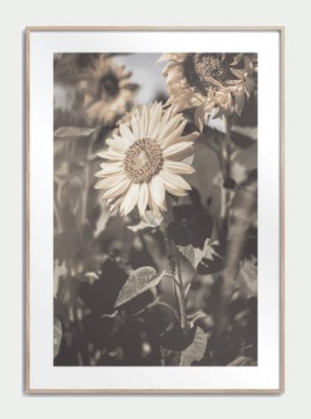 Sunflower Poster I 2020 Plakater Fotokunst Botaniske Plakater