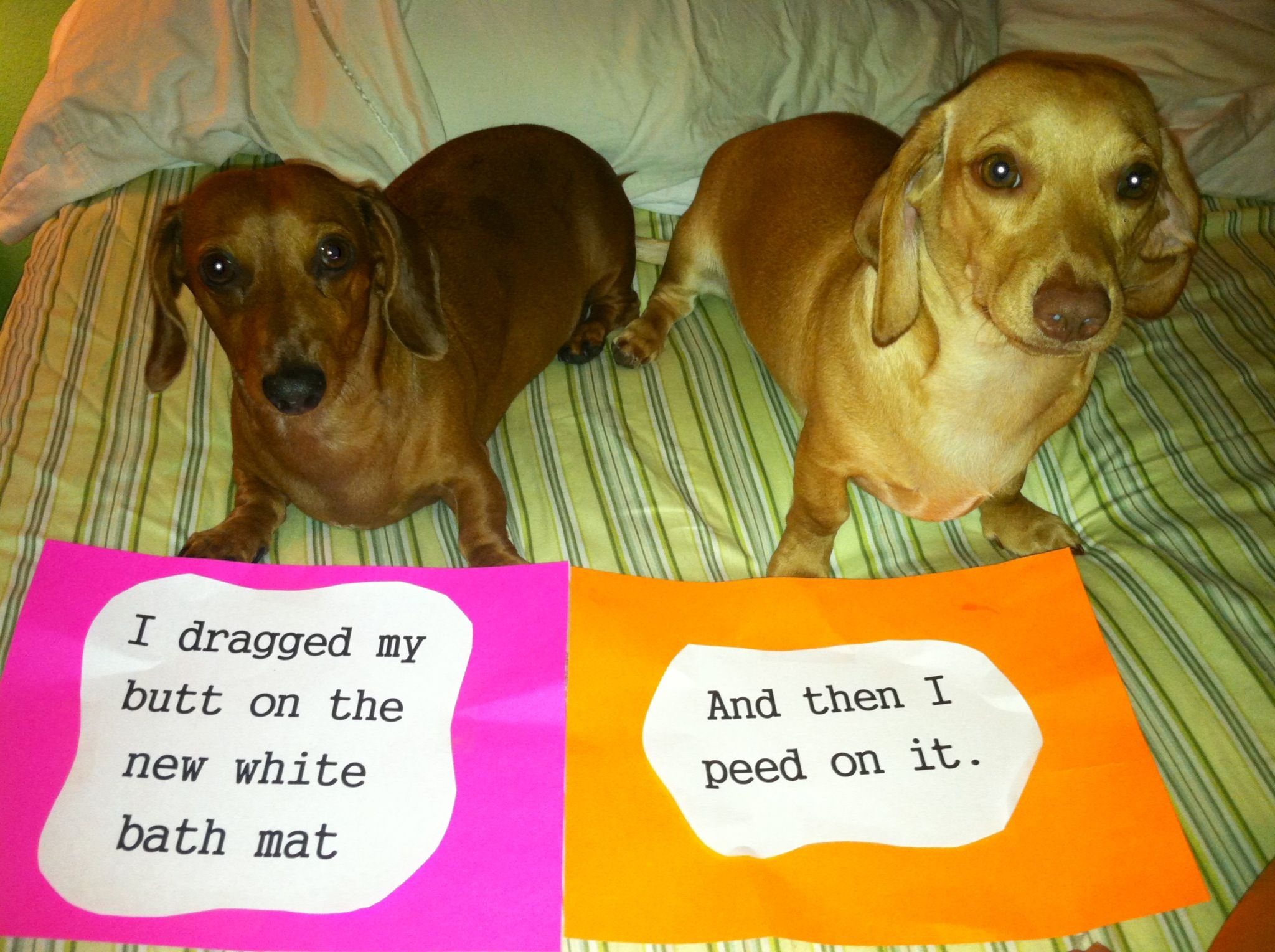 Dachshund Dog Shaming