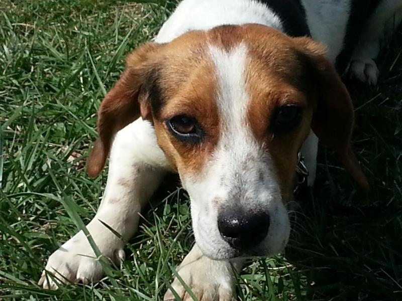 Adopt Jelly Bean On Beagle Dog Adoptable Beagle Beagle
