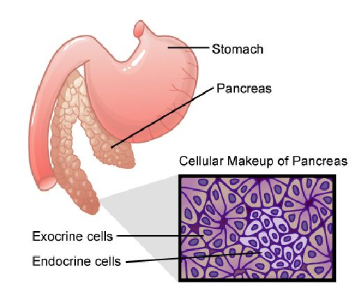 The Pancreas Is A Glandular Organ Located Close To The Liver The