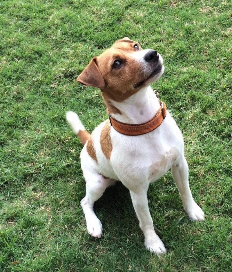 Adopt Kip In Austin On Terrier Dogs Pets Terrier