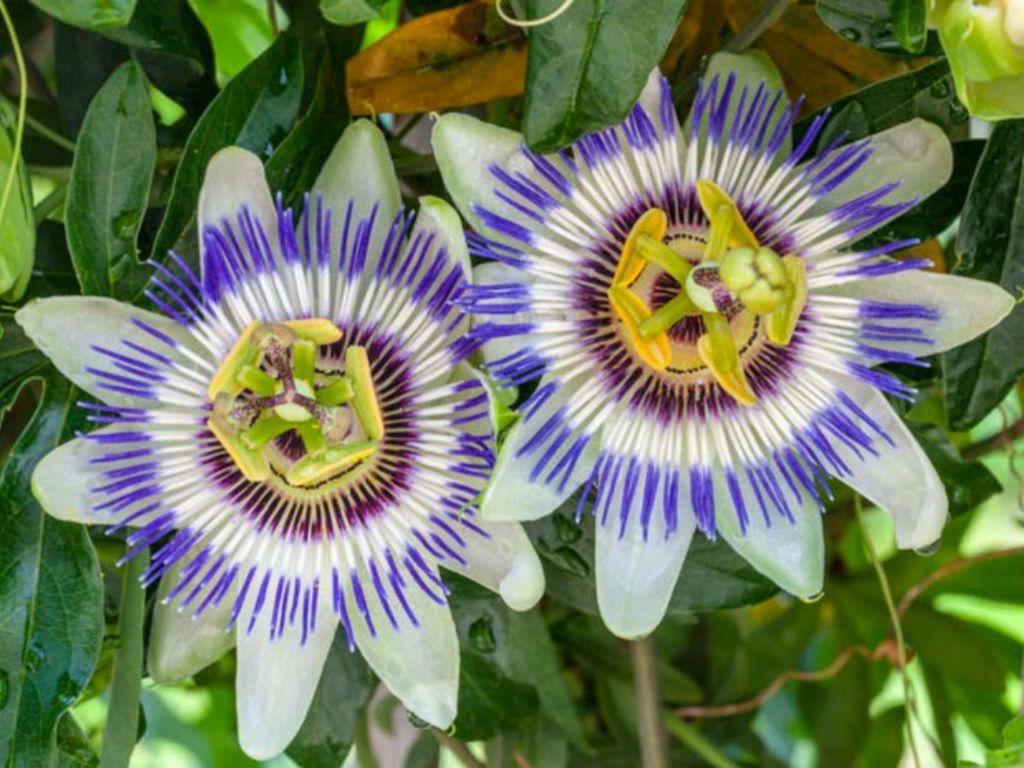 Passiflora Caerulea Blue Passion Flower World Of Flowering Plants Passiflora Caerulea Blue Passion Flower Passion Flower