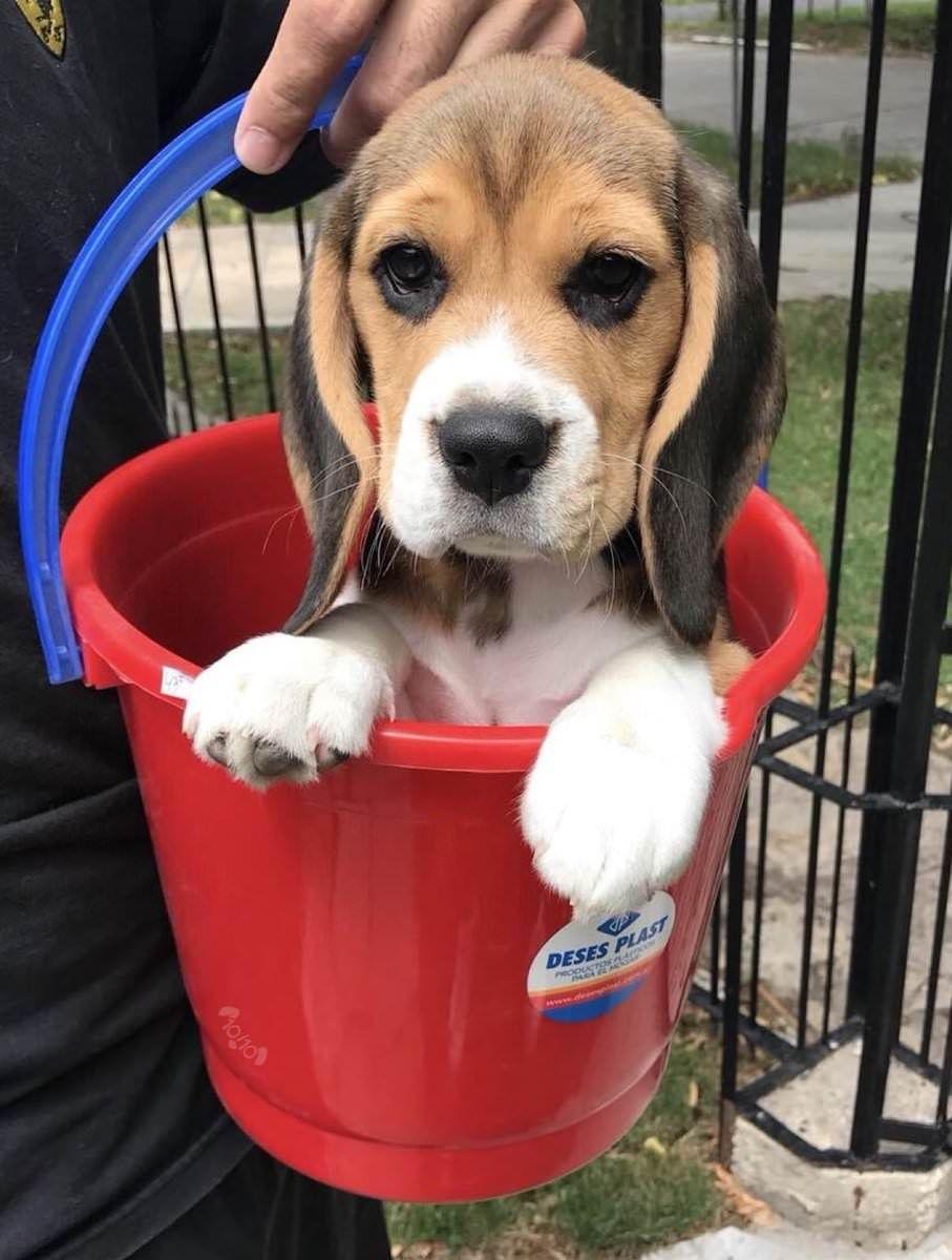 Beagle In A Bucket Beagle Puppy Cute Beagles Puppies