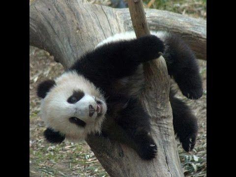 Funny panda bear plays 2016