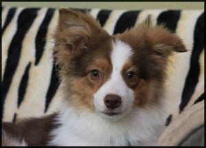 Adopt Fyre On Animals Beautiful Border Collie Rescue Adoption
