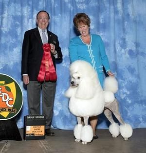 Aro Our New Grand Champion Standard Poodle Puppy Poodle Puppies