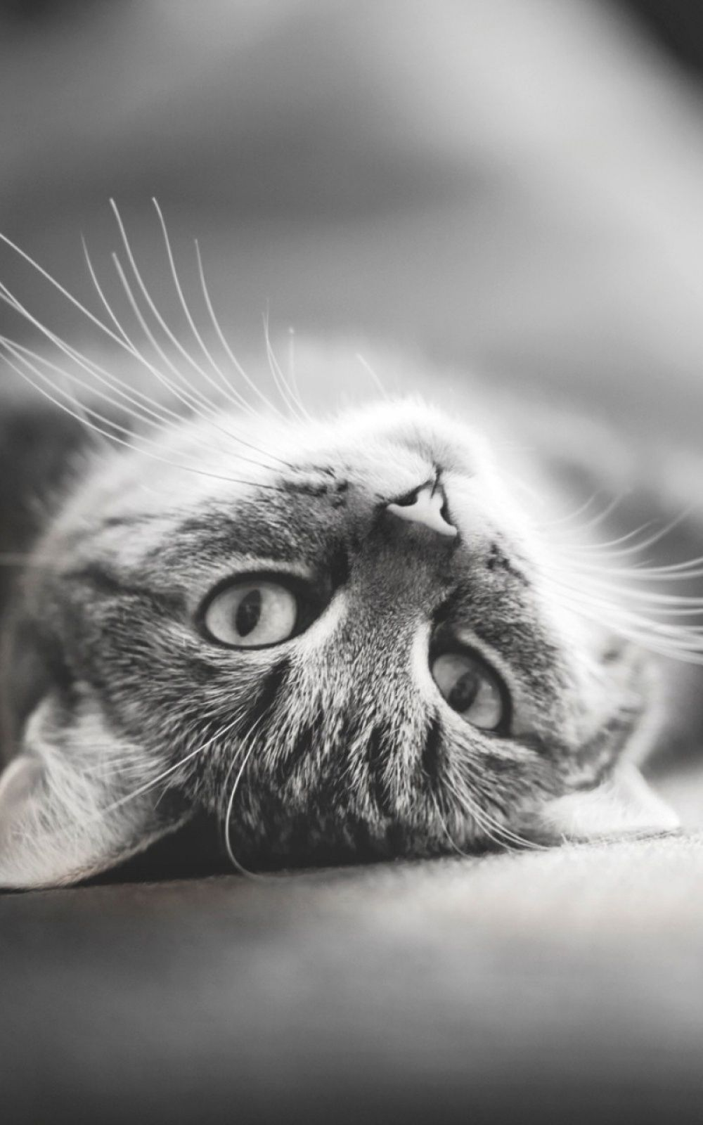 New Wallpaper For Your Android Or Ios Device Get Our App On Android Or Ios For Free Http Bit Ly Hdwallpapersa Grey Cat Wallpaper Cat Wallpaper Grey Kitten