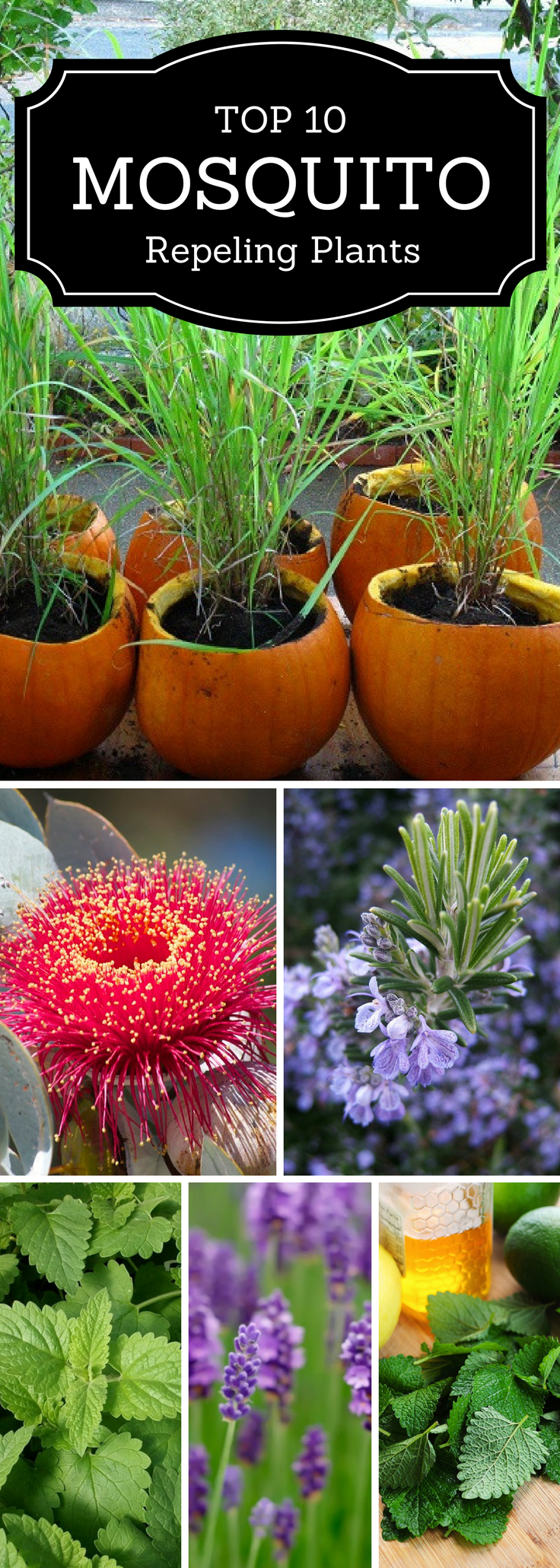 inspiration house plants that repel bugs. Top 10 Plants That Repel Mosquitoes  Inspired Mosquito repelling plants