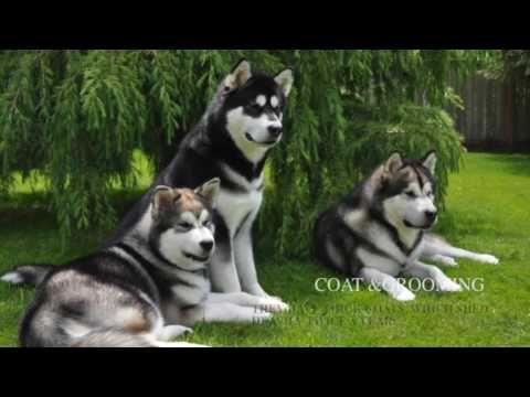 Alaskan Malamute Dog Breed Information Origin History