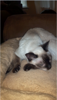Siamese Cat Cat Facts Siamese Cats Siamese Cats Facts