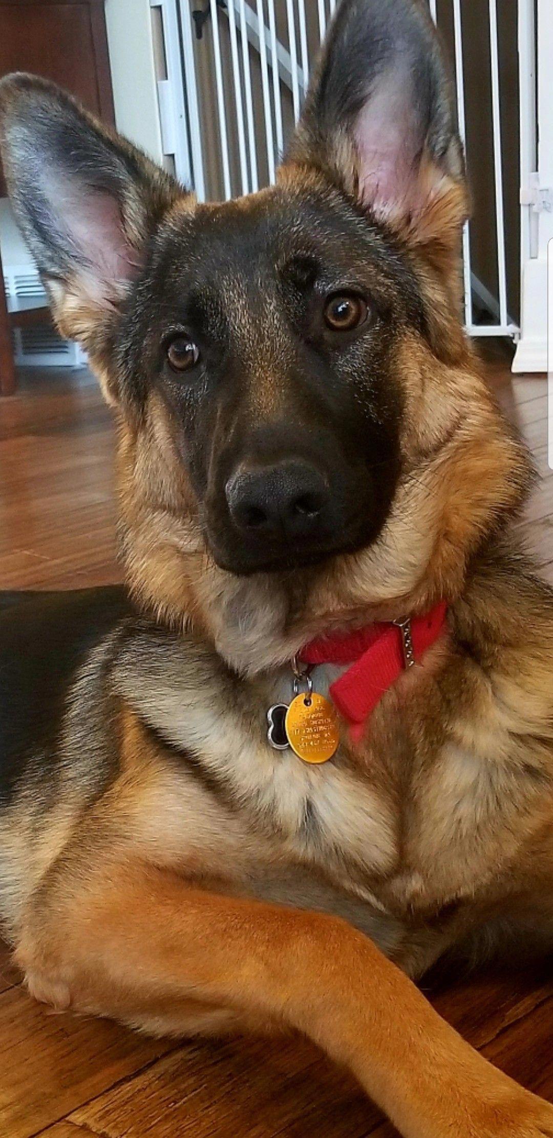 Tschechischer Schäferhund