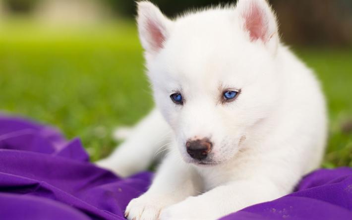 Descargar Fondos De Pantalla Cachorro Husky Perro Pequeno Blanco Esponjoso Husky Mascotas Varios White Husky Puppy Cute Dogs Puppies Siberian Husky P