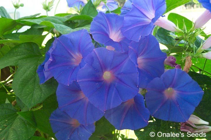 Blue Dawn Flower Morning Glory Ipomoea Acuminata I Indica Rooted Cuttings In 2020 Garden Vines Vines Morning Glory