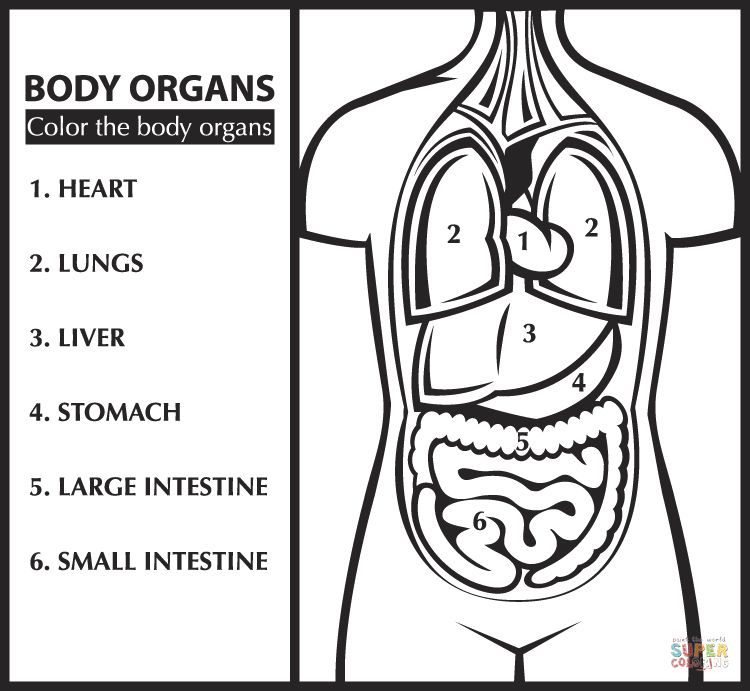 Color The Body Organs Learn English Coloring Page Free