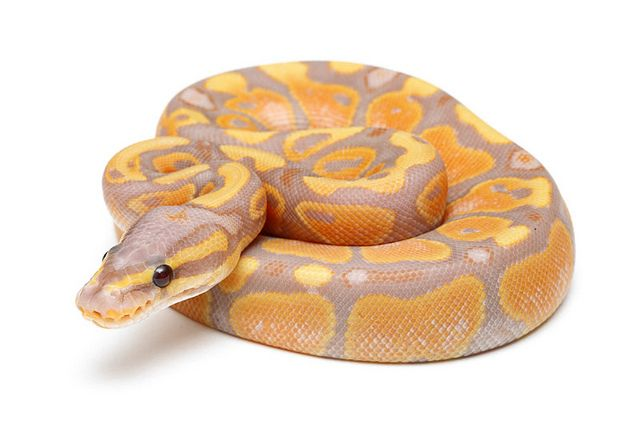 i am truly obsessed with banana pythonns