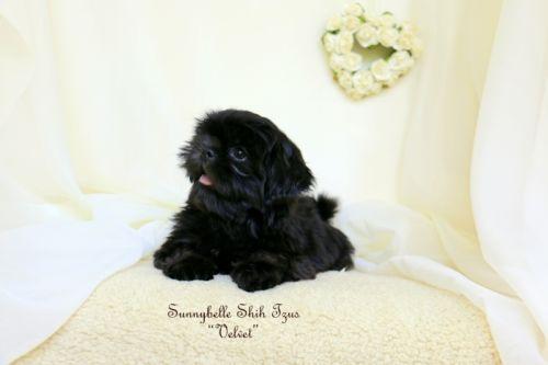 Velvet Sweet Amp Beautiful Akc Shih Tzu Puppy 11 Wks Old Shih Tzu Puppy Shih Tzu Puppies