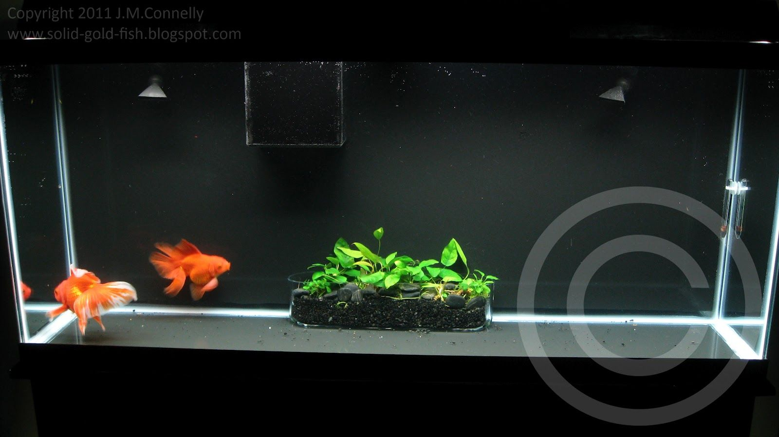 Fish in tank with goldfish - Then I Carefully Lowered The Planter Into The Tank And Viola
