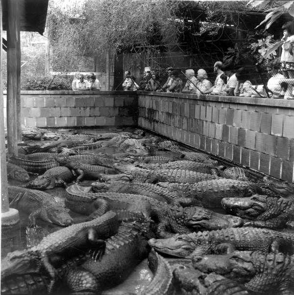 People looking at alligators at the Everglades Wonder Gardens in Bonita Springs, Florida, 1975