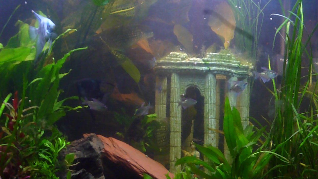 80 gallon fresh water Angelfish aquarium with fresh water plants