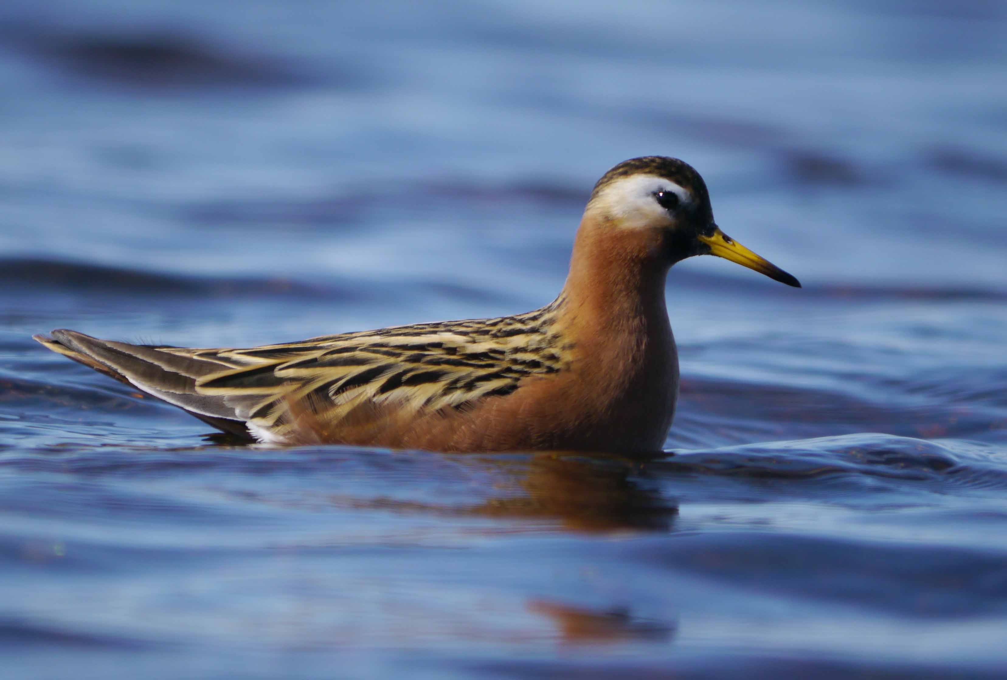 red-grey-phalarope-lake-peykul-neyskoye-001-12-june-2011-martin-j-mcgill.jpg (3312×2238)