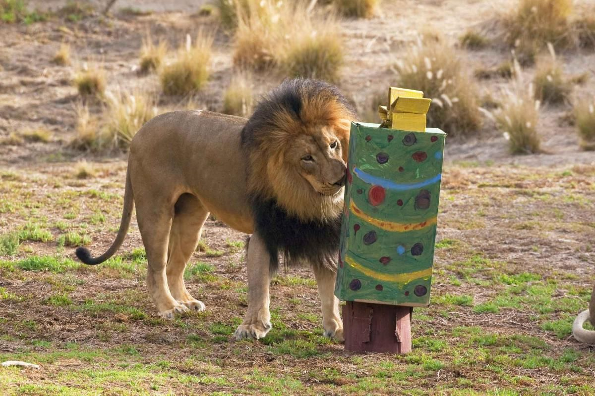 "From 2009, a lion investigates a cardboard box ""Christmas tree"" when San Diego Zoo's Wild Animal Park hosted enrichment days for guests to view animals playing with hand-painted boxes, popcorn-stuffed bags, insect-filled tubes, and more, all created by the guests."
