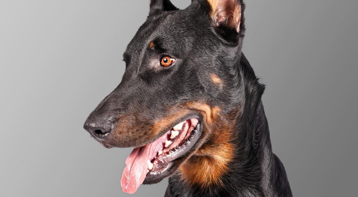 See if your perfect dog match is the Beauceron. All the information you need, including personality, history, grooming, pictures, videos, how to find a Beauceron and the AKC breed standard.