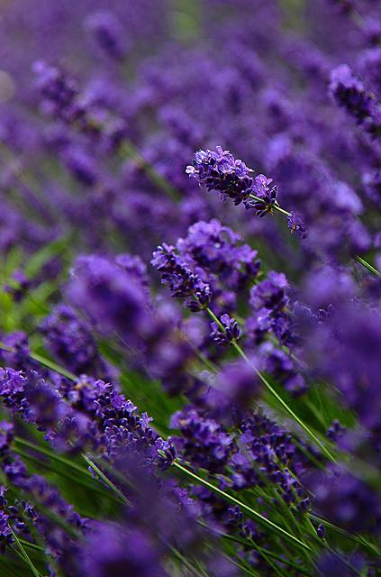New Post On Fenrir Howls Lavender Flowers Purple Garden Flowers
