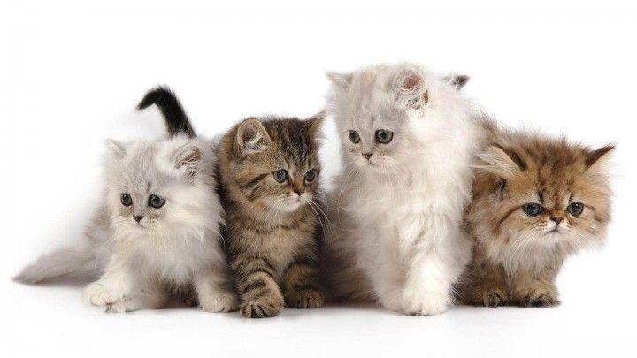 Kucing Kertas Dinding Hd Kittens Cutest Cute Cats Photos Kitten Wallpaper