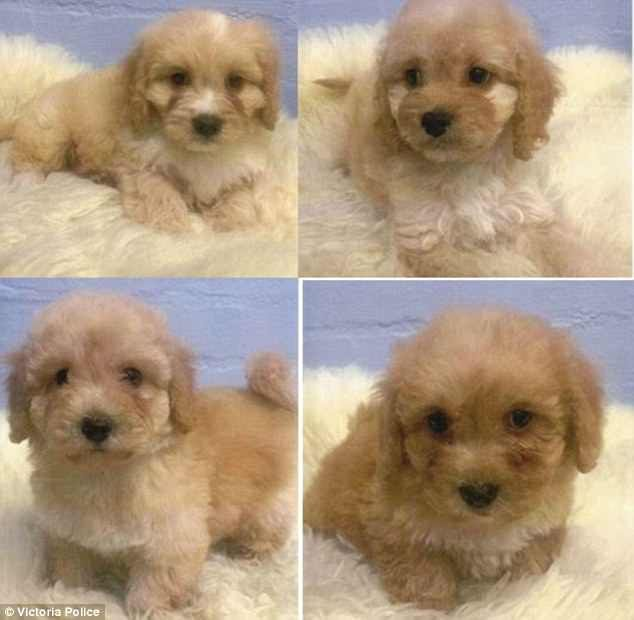 Puppies stolen from Melbourne pet store as police hunt