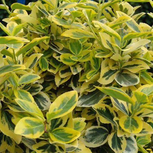 euonymus fortunei emerald n gold fusain jeune plante en godet a feuillage panach persistant en. Black Bedroom Furniture Sets. Home Design Ideas
