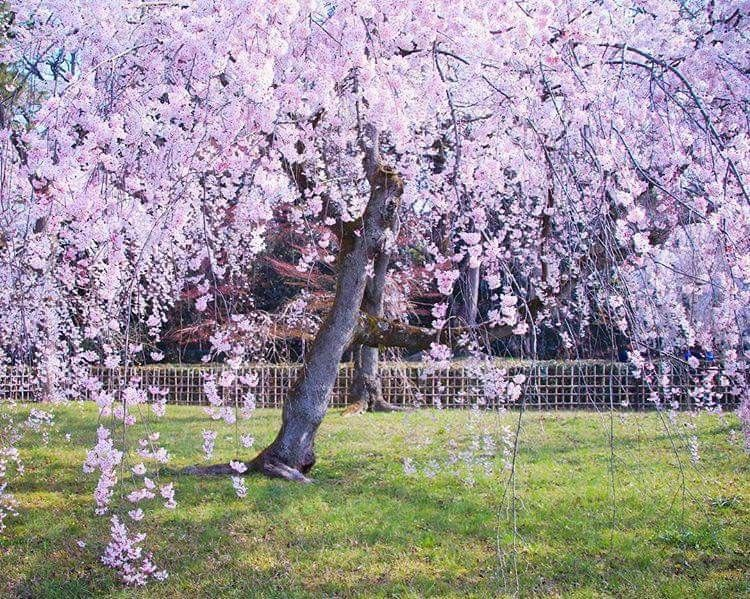 Pin By Cuisine Enfamille On Japan Cherry Blossom Japan Blossom