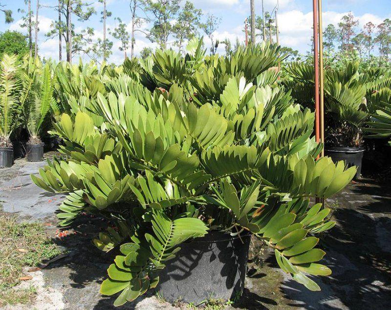 Cycads zamia furfuracea zamia furfuracea collector 39 s for Planta ornamental zamia