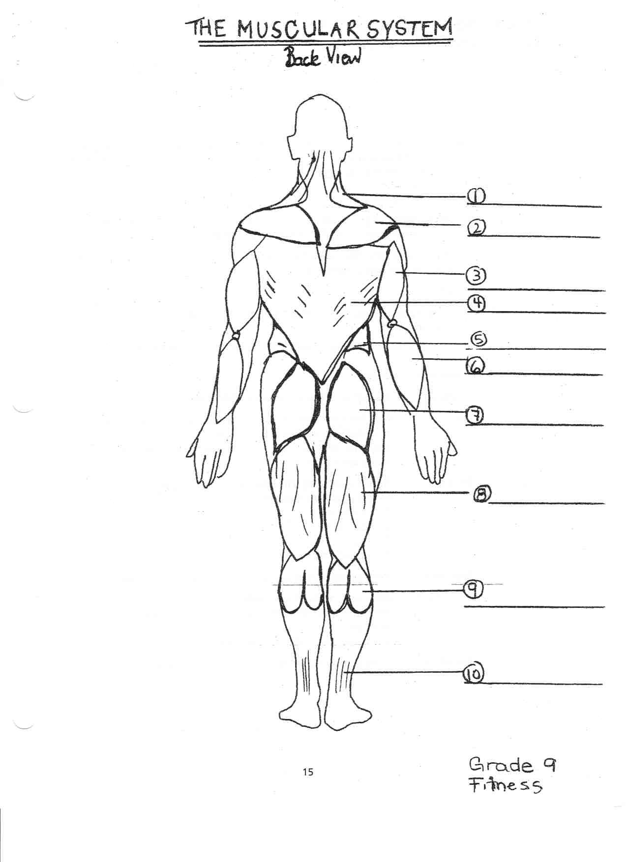 Muscular System Diagram For Kids Blank